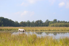 Nature landscape with cows in water Royalty Free Stock Photo