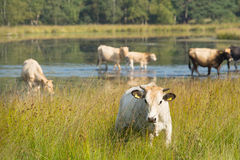 Nature landscape with cows in water Stock Photos