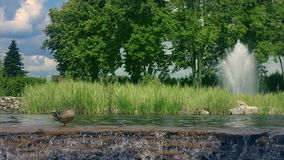 Nature landscape. Lake at summer park. Small waterfall in city park. Wild duck on river rapids. Water fountain in garden. Green trees in park. Wildlife in hot stock video footage