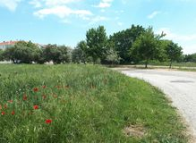 Poppy field, olive trees and road. Nature landscape on a spring day Royalty Free Stock Image