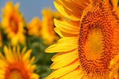 Nature landscape; Sunflower field, agriculture Royalty Free Stock Images