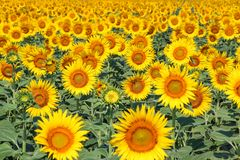 Nature landscape; Sunflower field, agriculture Royalty Free Stock Photography