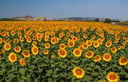 Nature landscape; Sunflower field, agriculture Royalty Free Stock Image