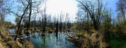 Nature landscape with swamp panorama Stock Photos