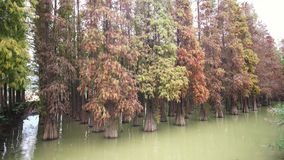 Nature landscape, Taxodium distichum in fall color around Seven-star Crags Scenic Area. At Zhaoqing, China stock video