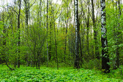 Nature landscape view of a green forest jungle on spring season with green trees and leaves. Peaceful tranquil outdoor scenery Royalty Free Stock Photography