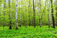 Nature landscape view of a green forest jungle on spring season with green trees and leaves. Peaceful tranquil outdoor scenery Royalty Free Stock Images
