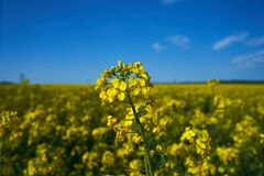 Nature landscape of yellow flowers field and blue sky, rapeseed blooming. Spring season, wallpaper, postcard, space for text