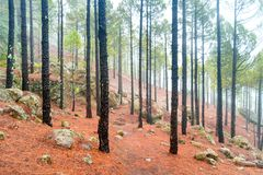 Nature lanscape of foggy pine forest stock image