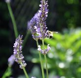 Nature lavender bee stock photography