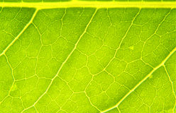 Nature Leaf. Close up of a single leaf showing all the veins of growth and nutrient paths that feed the leaf throught its life stock image