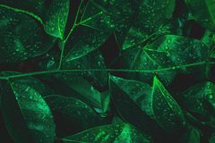Nature leaf with dew on dark forest background. Rainforest environment. Abstract royalty free stock images