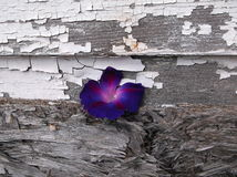 Nature Life In The Sidewalk. This was beautiful! This old garage wall and this purple flower goes well together Stock Photos