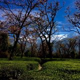 Nature love. Tea garden at dharmshala Stock Images
