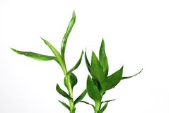 Nature lucky bamboo Stock Image