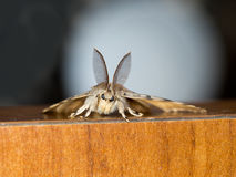 Nature macro. Gypsy moth. Royalty Free Stock Photography