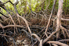 Nature mangrove. Nature abstract asia mangrove roots Stock Image