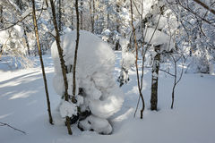 The nature massive snow on the forest Royalty Free Stock Image