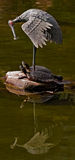 Nature and mastership. A rare combination of living turtles and stork sculpture, reflected in the mirror of water Royalty Free Stock Image