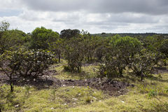 Nature of Mauritius. Endemic plants in park.  stock photo