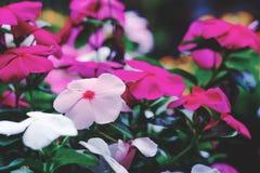 nature minuscule blanche et rose de fleurs photos stock