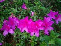 nature Montagnes Fleur d'azalée images stock