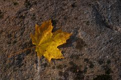 Nature morte. Fallen maple leaf on rock Stock Photo