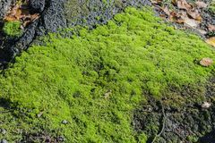 Nature moss as a background and texture royalty free stock images