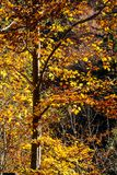 Nature mountains carpathians autumn leaves sunrise forest sunshine leaves yellow blue sky rays heat multicolored palette. Autumn sunrise in the mountain forests stock photo