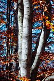 Nature mountains carpathians autumn leaves sunrise forest sunshine leaves yellow blue sky rays heat beech trunk. Autumn sunrise in the mountain forests of the stock photos