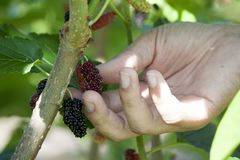 Mulberry fruit on the tree. Nature of Mulberry on the tree fresh green in garden hand of man keep fruit royalty free stock images