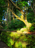 Old tree in a forest at sunset light Royalty Free Stock Photo