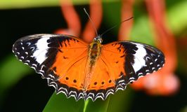 Nature - Orange Lacewing. Beautiful Orange- Lace-wing Butterfly royalty free stock photo