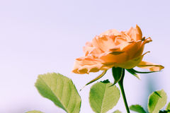 Nature. Orange rose flower for background Stock Photography