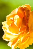 Nature. Orange rose flower for background Royalty Free Stock Photo