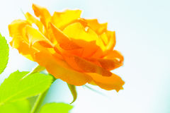 Nature. Orange rose flower for background Stock Images