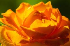 Nature. Orange rose flower for background Stock Photo