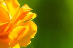 Nature. Orange rose flower for background stock photos