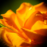 Nature. Orange rose flower for background Royalty Free Stock Image