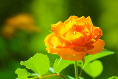 Nature. Orange rose flower for background Stock Photos