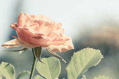 Nature. Orange rose flower for background. Nature. Closeup of beautiful blooming orange rose flower with blurry background. Gardening royalty free stock photos