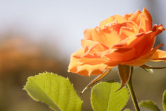 Nature. Orange rose flower for background Royalty Free Stock Photography