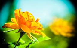Nature. Orange rose flower for background. Nature. Closeup of beautiful blooming orange rose flower with blurry background. Gardening stock photos