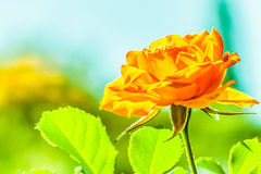 Nature. Orange rose flower for background Stock Image