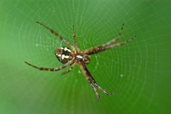 Nature orb web spider. Spider and spider web in the morning royalty free stock photo