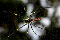 Nature orb web spider. A long leg spider in the parks royalty free stock image