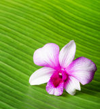 Orchid flower lies on green leaf.  Royalty Free Stock Photos