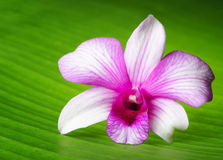 Orchid flower lies on green leaf.  Stock Images