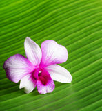 Orchid flower lies on green leaf.  Stock Image