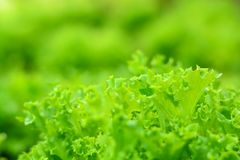 Nature Organic Blur  Background. Organic Vegetable in the Farm Royalty Free Stock Photos